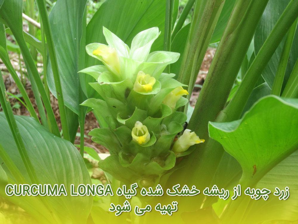 عکس : زرد چوبه از ریشه خشک شده گیاه Curcuma longa تهیه می شود