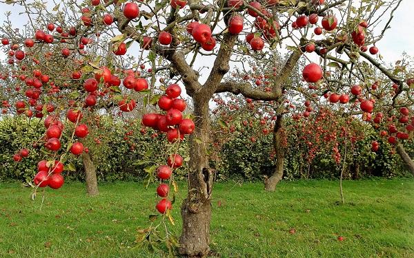 خواص دارویی و درمانی سیب