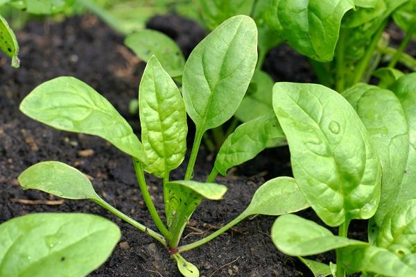 گیاه اسفناج
