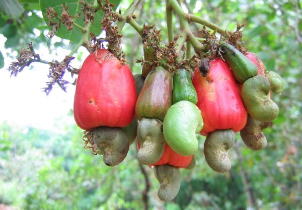 بادام هندی به انتهای سیب بادام هندی می چسبد.