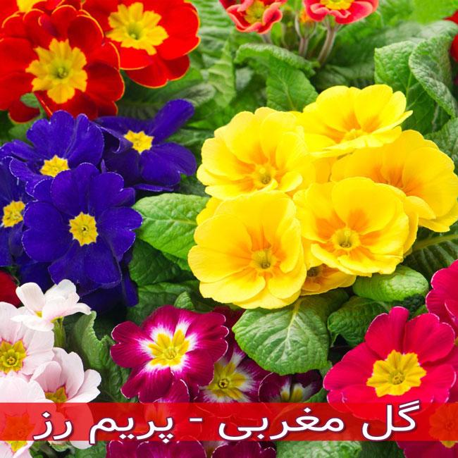 گل مغربی - پریم رز