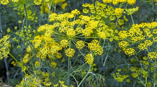گل های گیاه رازیانه