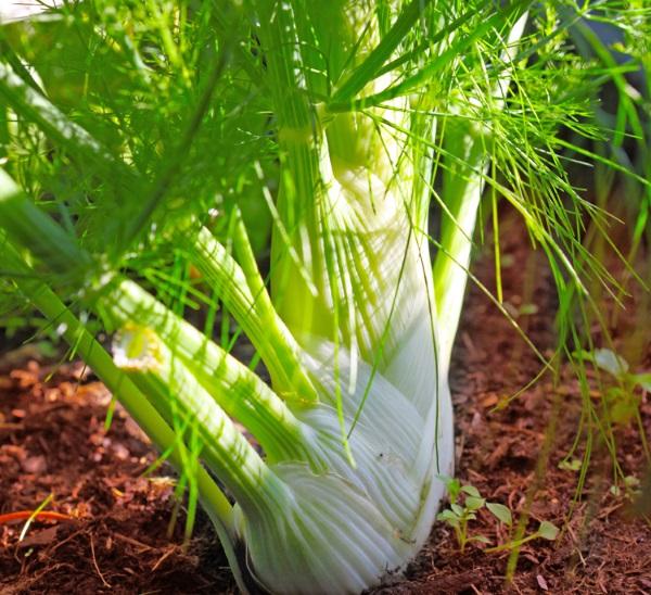 گیاه رازیانه یا بادیان
