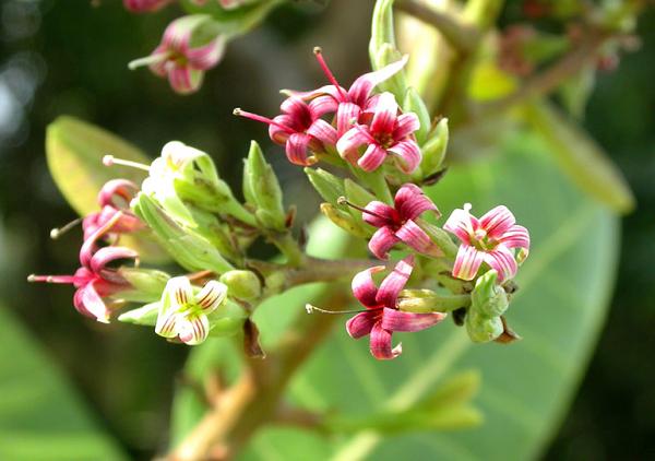 گل های درخت بادام هندی