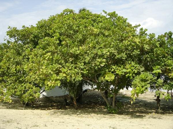 درخت بادام هندی