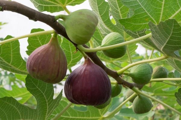 درختان انجیر می توانند تا 100 سال زندگی کنند