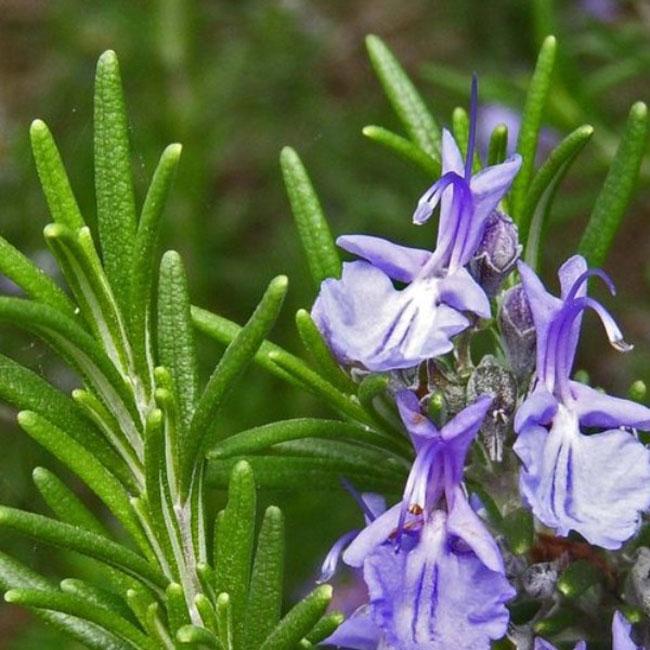 عکس گیاه و گل رزماری